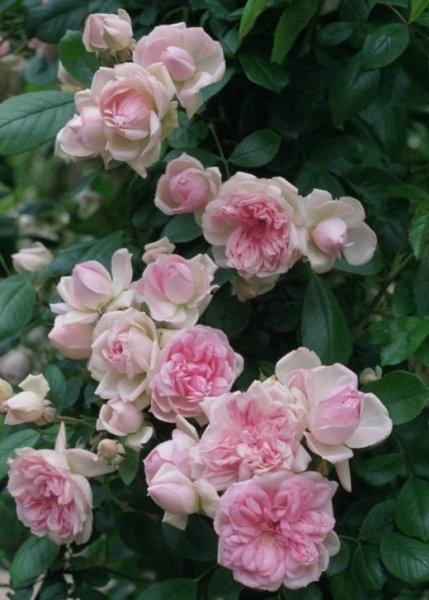 Роза флорибунда фото и описание сорта, посадка и уход