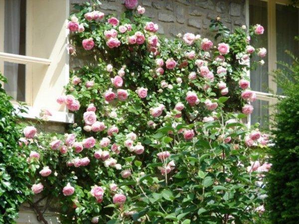 Календарь ухода за плетистыми розами 2019 по сезонам и месяцам