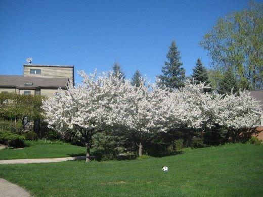 Яблони на даче и в саду, выращивание и уход, сорта