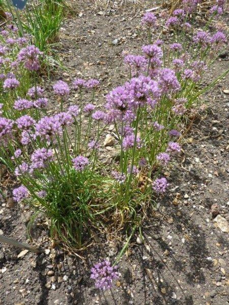 Шнитт-лук фото и описание, выращивание, посадка и уход