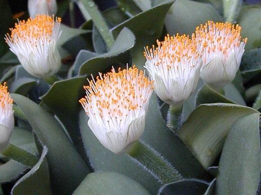 Гемантус - уход в домашних условиях, выращивание, размножение