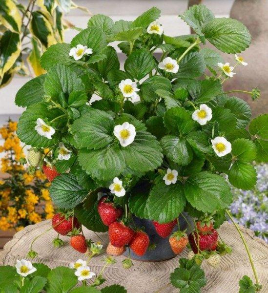 Клубника на окне круглый год - выращивание, посадка и уход