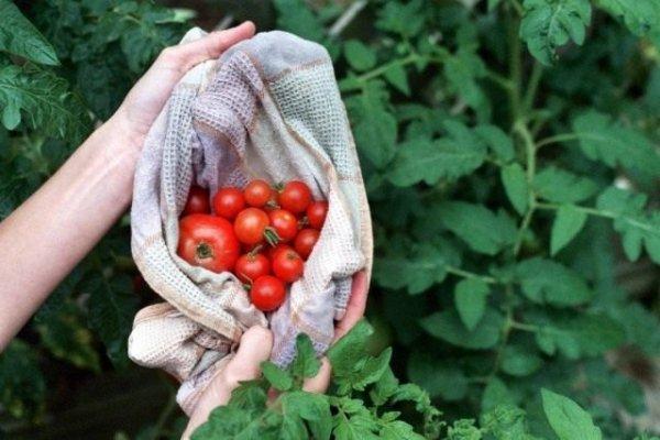Ошибки снижают урожай помидоров - выращивайте правильно!