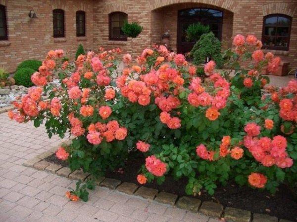 Сорта роз для цветника - ТОП-7 самых ярких с фото и видео