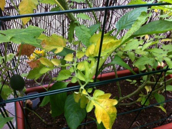 Почему желтеют листья помидоров - причины и что делать
