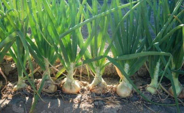 Репчатый лук из севка выращивание и уход в открытом грунте