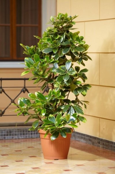 Коринокарпус - выращивание и уход в домашних условиях с фото