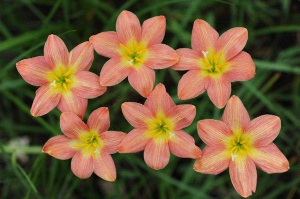 Зефирантесы - уход, посадка и выращивание в домашних условиях с фото и видео.