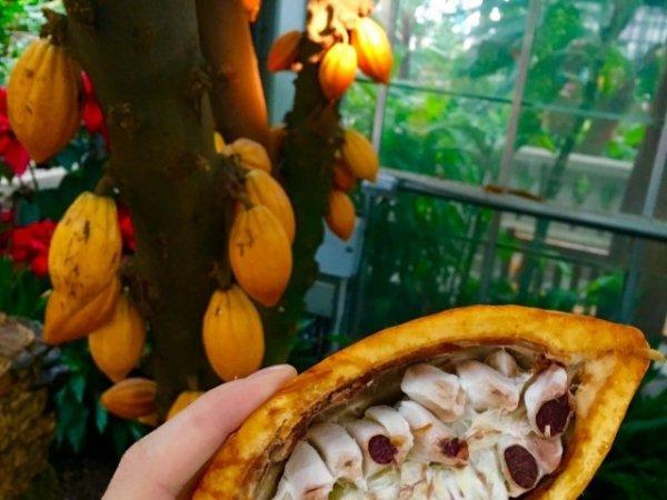 Шоколадное дерево в комнате и особенности выращивания какао. Уход в домашних условиях. Фото и видео