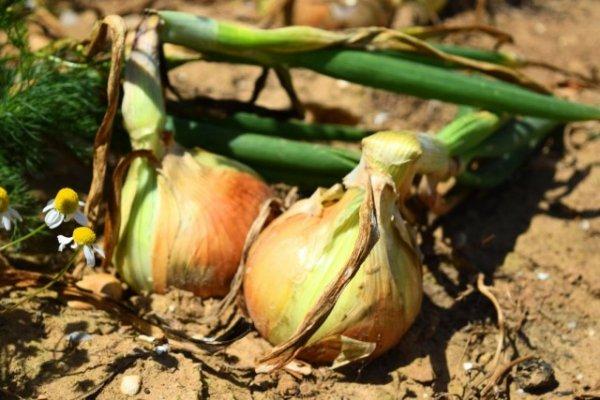 Как вырастить крупный лук репку из севка в открытом грунте