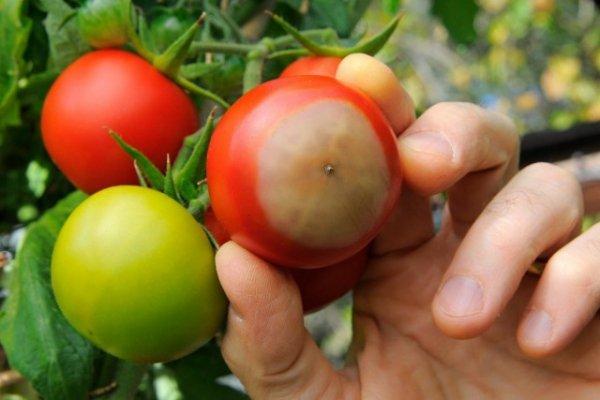 Вершинная гниль помидоров и способы борьбы