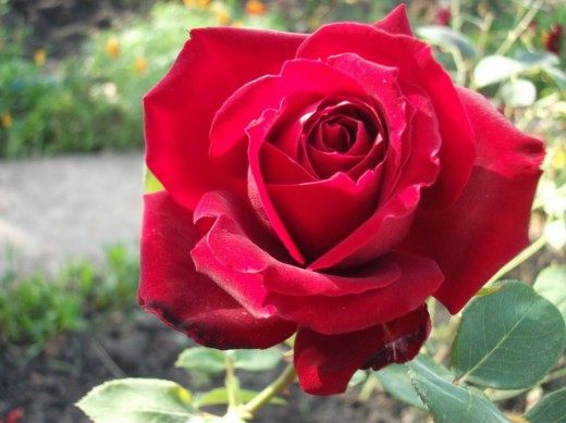 Розы из осенних черенков и осеннее черенкование с фото и видео