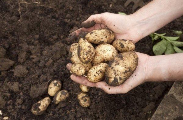 Когда и как правильно копать картошку - сроки и советы