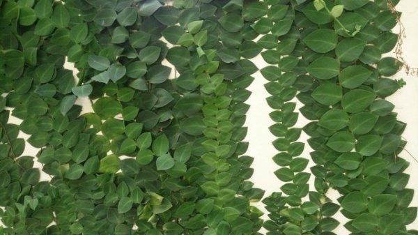 Рафидофора — комнатная лиана для настенного озеленения. Виды. Уход в домашних условиях. Фото и видео