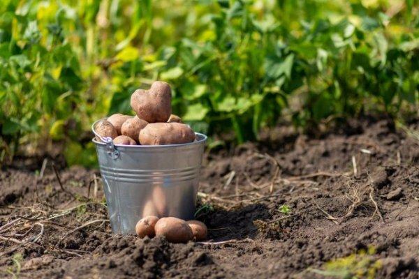 Выгодно ли выращивать картошку на своем участке?