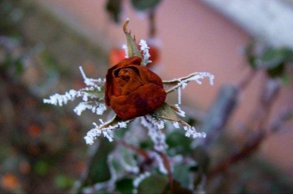 Как сохранить розы зимой в саду и чем укрыть правильно