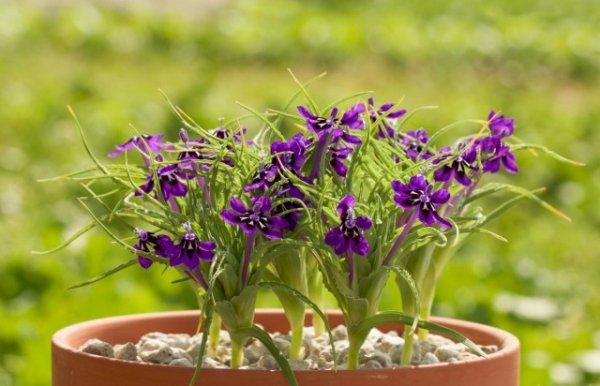 Лаперузия - выращивание и уход в домашних условиях с фото и видео
