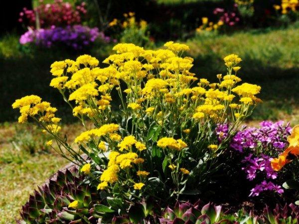 Как правильно посеять цветы под зиму? Плюсы и минусы подзимнего посева. Фото.