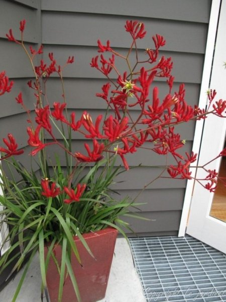 Анигозантос - уход, выращивание, размножение. Виды с фото