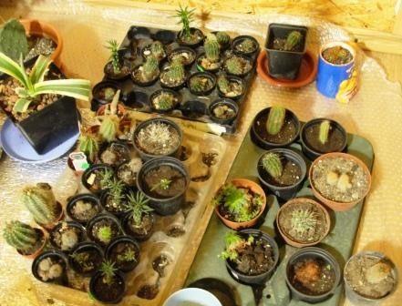Кактусы из семян - размножение, уход, выращивание с фото и видео