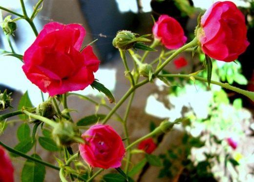 История розы как культуры цветов, легенды и предания про розы