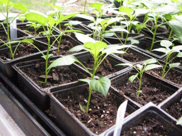 Как вырастить рассаду помидоров в домашних условиях - способы