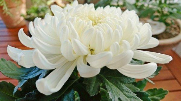 Как сохранить горшечные хризантемы до весны? Уход в домашних условиях. Фото и видео