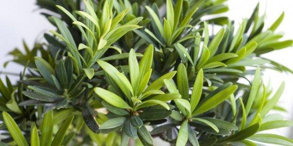 Подокарп крупнолистный - выращивание и уход в домашних условиях