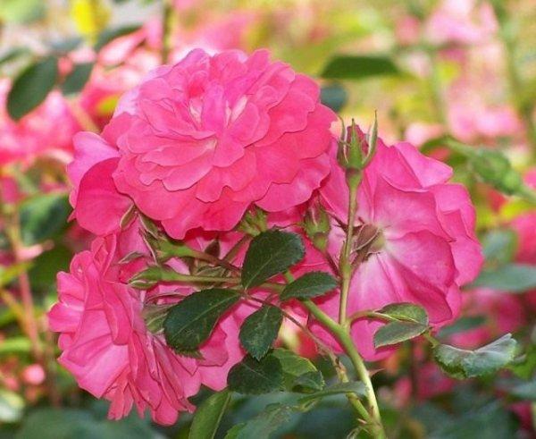 Болезни и вредители розы и методы борьбы: средства и как обрабатывать