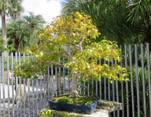 Суринамская вишня Питанга - уход в домашних условиях с фото и видео