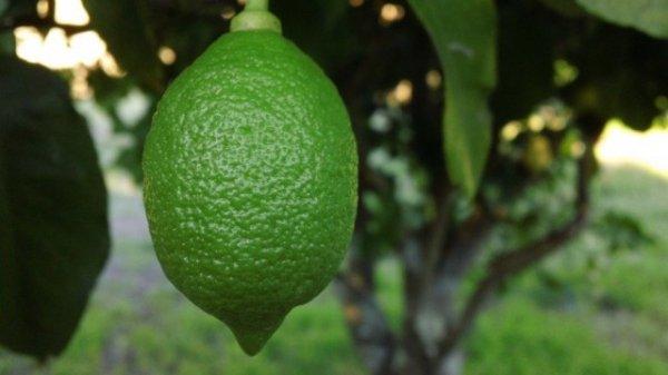 Домашний лимон. Как вырастить лимон дома?