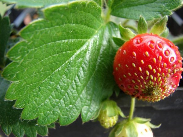 Выращивание клубники - посадка и уход в открытом грунте