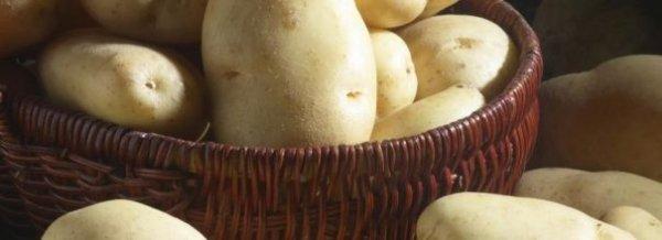 Картофель Гала - описание сорта, посадка и уход + фото