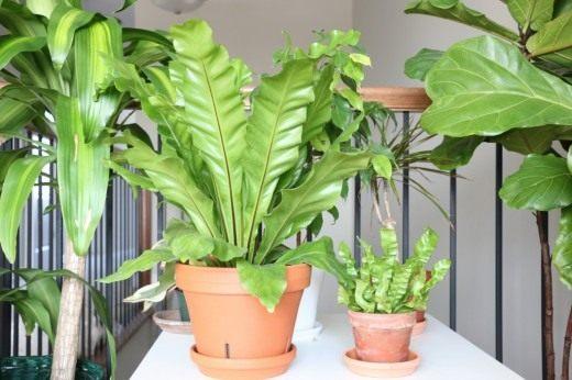 Асплениум - выращивание и уход в домашних условиях