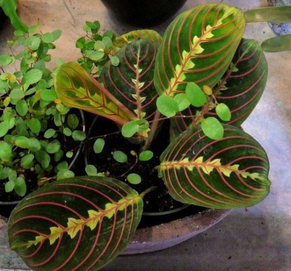 Маранта в домашних условиях, выращивание, размножение