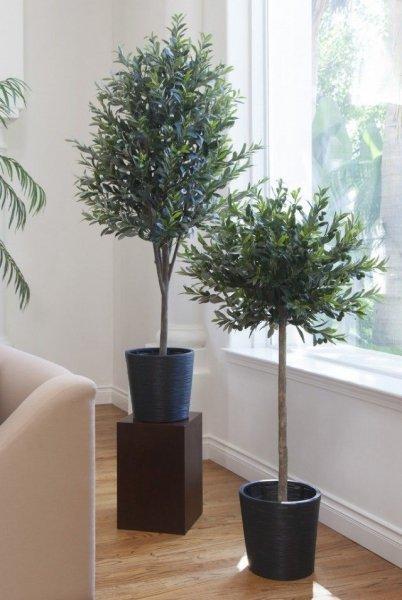 Зимовка оливковых деревьев и уход в домашних условиях