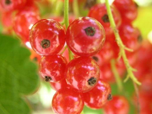 Смородина - лечебные свойства и применение в народной медицине