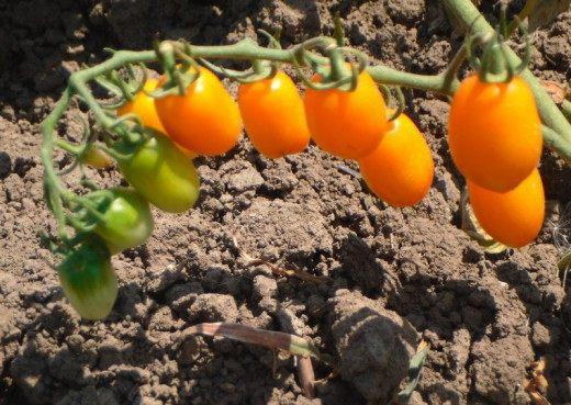 Помидоры поливать или не поливать? Выращивание без полива