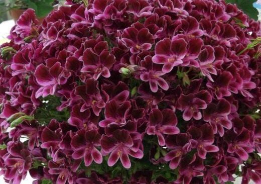 Пеларгония домашняя - выращивание и уход с фото и видео