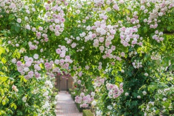 Обрезка плетистых роз клаймеров и рамблеров - правила и сроки