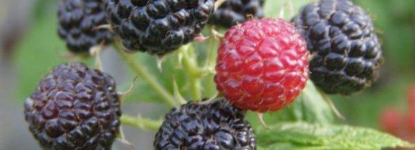 Черная малина Кумберленд фото и описание сорта, посадка и уход