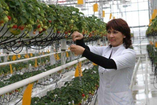 Правила выращивания клубники в теплице круглый год - фото и видео