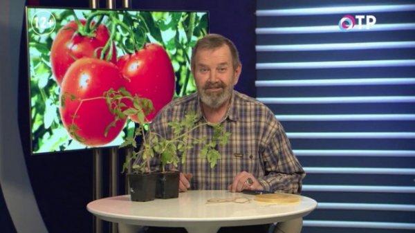 Прививка томатов на два корня сращиванием - аблактировка
