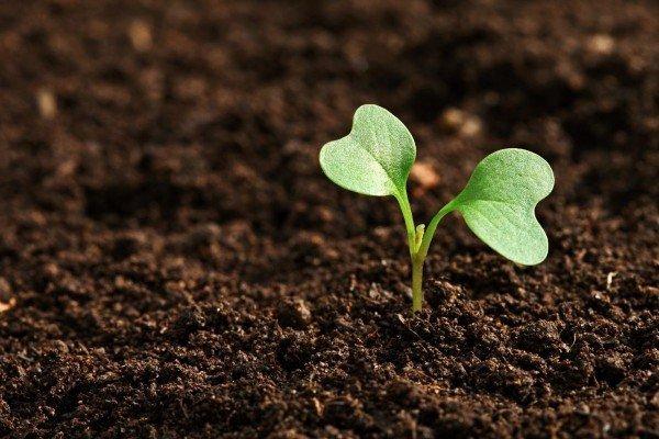 Выращивание гороха в открытом грунте, агротехника c фото и видео