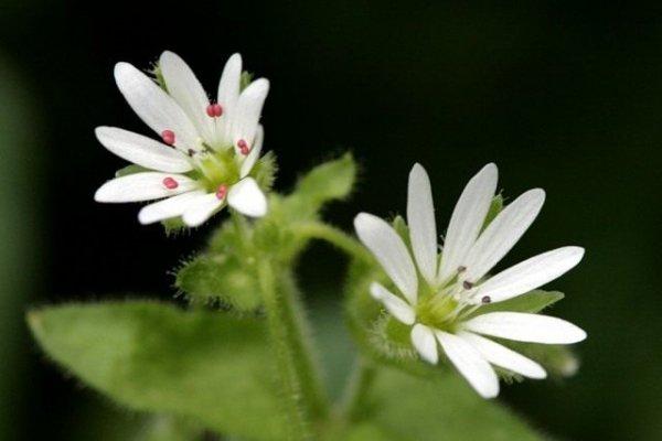 Мокрица трава синоптик - звездчатка, полезные свойства