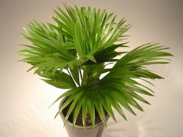 Пальма ливистона в домашних условиях - выращивание и уход