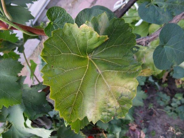 Обрезка старого винограда весной - видео, советы начинающим, как правильно