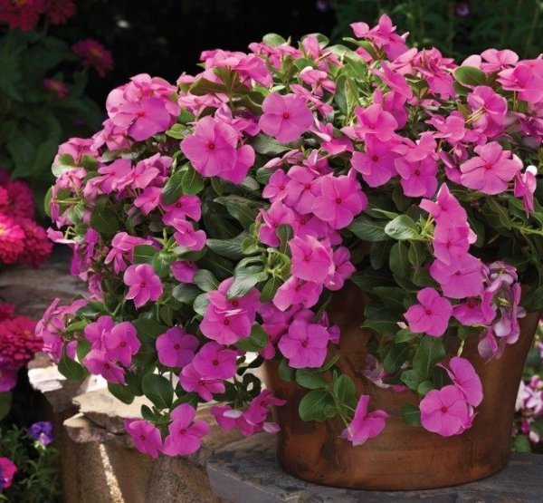 Катарантус - уход в домашних условиях, выращивание с фото и видео