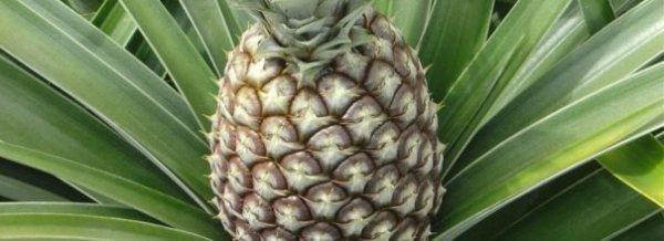 Как вырастить ананас из верхушки в домашних условиях + фото и видео