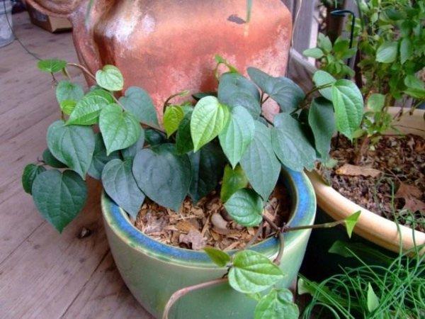 Выращиваем черный перец в домашних условиях